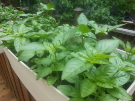 The sweet basil is quite happy, too