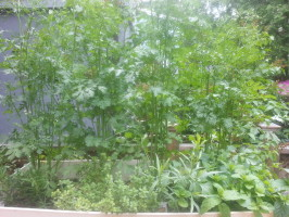 The cilantro towers over the other herbs